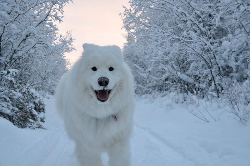 27-Самоед-бегущий-по-снегу
