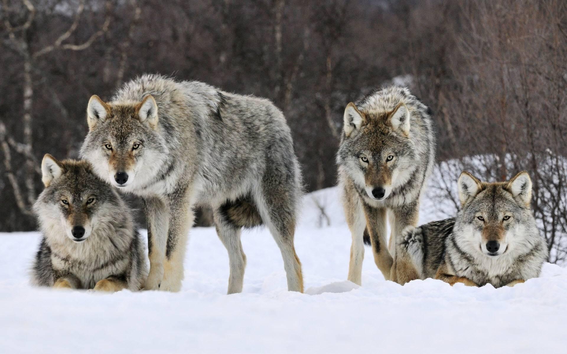 462189-wolves3-herd