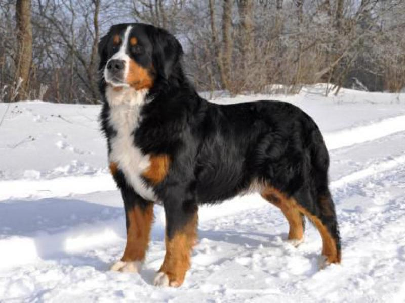 bernskii-zennenhund-ili-bernskaya-ovcharka